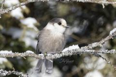 Lichen Framed Canada Jay
