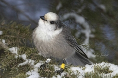 Canada Jay in Pines