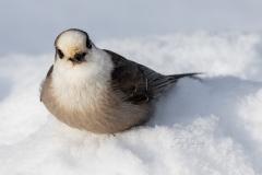 Canada Jay on Ground