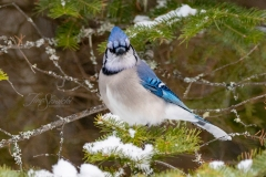 Blue Jay on Pine Tree