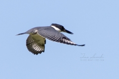 Flying Belted Kingfisher