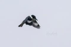 Hovering Belted Kingfisher
