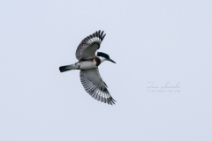 Wings Out Belted Kingfisher