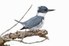 Male Belted Kingfisher on Branch
