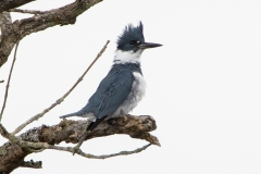 Male Belted Kingfisher Watching