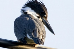 Watching Belted Kingfisher
