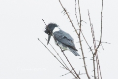 Male Belted Kingfisher Treetop