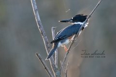 Female Belted Kingfisher Hunting in Sunset