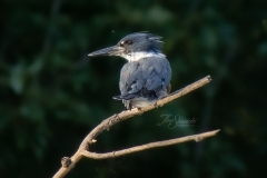 Female Belted Kingfisher Watching