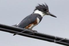 Female Belted Kingfisher Fishing