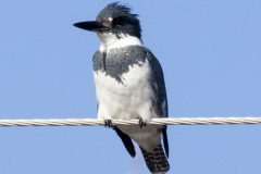 Male Belted Kingfisher On Wire