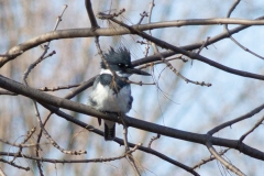 Male Belted Kingfisher Posing in Branches