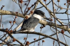 Belted Kingfisher in Buds