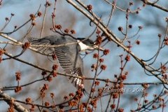 Belted Kingfisher Flying