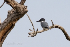 Male Belted Kingfisher On Branches