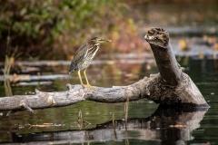 Green Heron on River