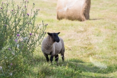 Sheep in the Shade