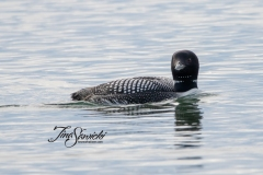Solitary Common Loon 2