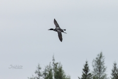 Loon over Tree Tops