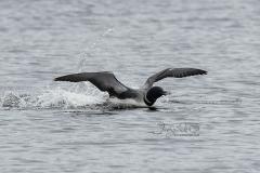 Common Loon Landing