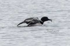 Loon With Fish in Water