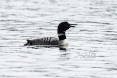 Loon Floating
