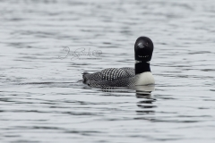 Loon Stare