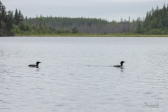 633A5695-LOON-PAIR-INWATER