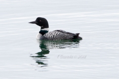 Solitary Common Loon 4