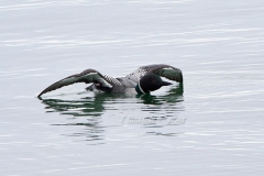 Solitary Common Loon 3