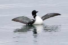 Solitary Common Loon 12