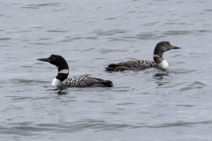 Pair Common Loons 4