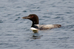 Solitary Common Loon 15