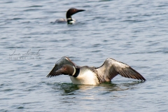 Pair Common Loons 1