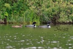 Common Loon  Family 3