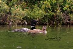 Common Loon  Family 4