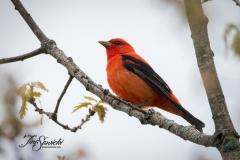 Scarlet Tanager 6