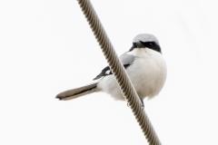 Loggerhead Shrike 2