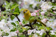 Orchard Oriole Female 1