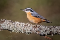 Red Breasted Nuthatch 3