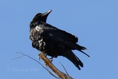 Common Raven 1