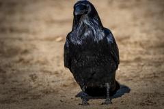 Common Raven 3