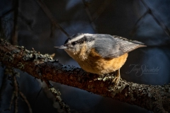 Red Breasted Nuthatch 5