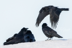 Common Raven 5