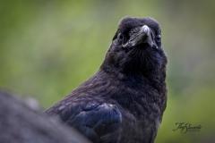 Common Raven 9