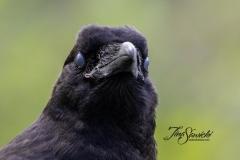 Common Raven 15