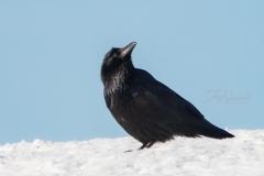 Common Raven 12