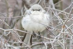 Northern Mockingbird 3