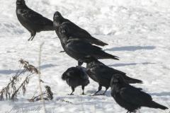 Common Raven 4