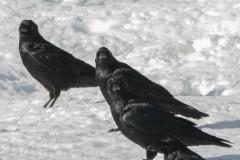 Common Raven 13